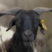 厉害了,我的羊