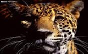 丛林豹★豹行天下★家族